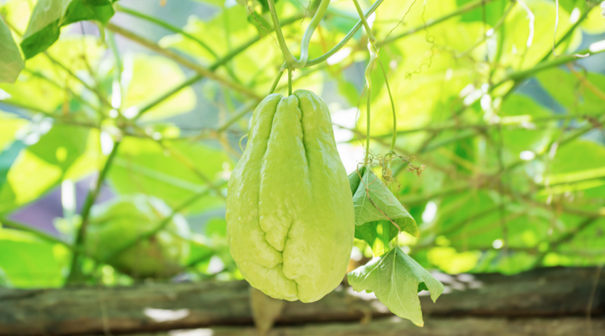 Read more about the article Chuchu, Frucht der Maya